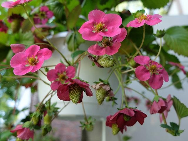 Rote Erdbeere 2